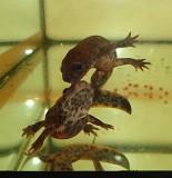 Комплект аквариумных животных: 2 тритона 2 лягушки. Доставка Киев