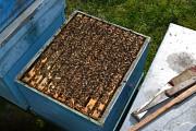 Пчелопакеты карпатской породы с доставкой доставка из г.Золочев