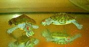 Пара домашних красноухих черепашек, 4-5см. Мальчик и девочка. Доставка сегодня до любого метро. Киев